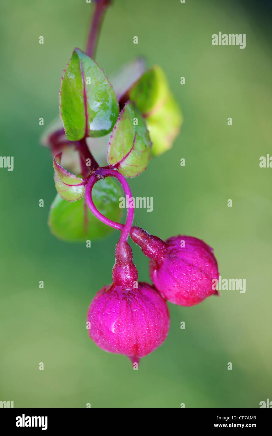 Fuchsia 'Dark eyes', Fuchsia, Pink, Green. - Stock Image
