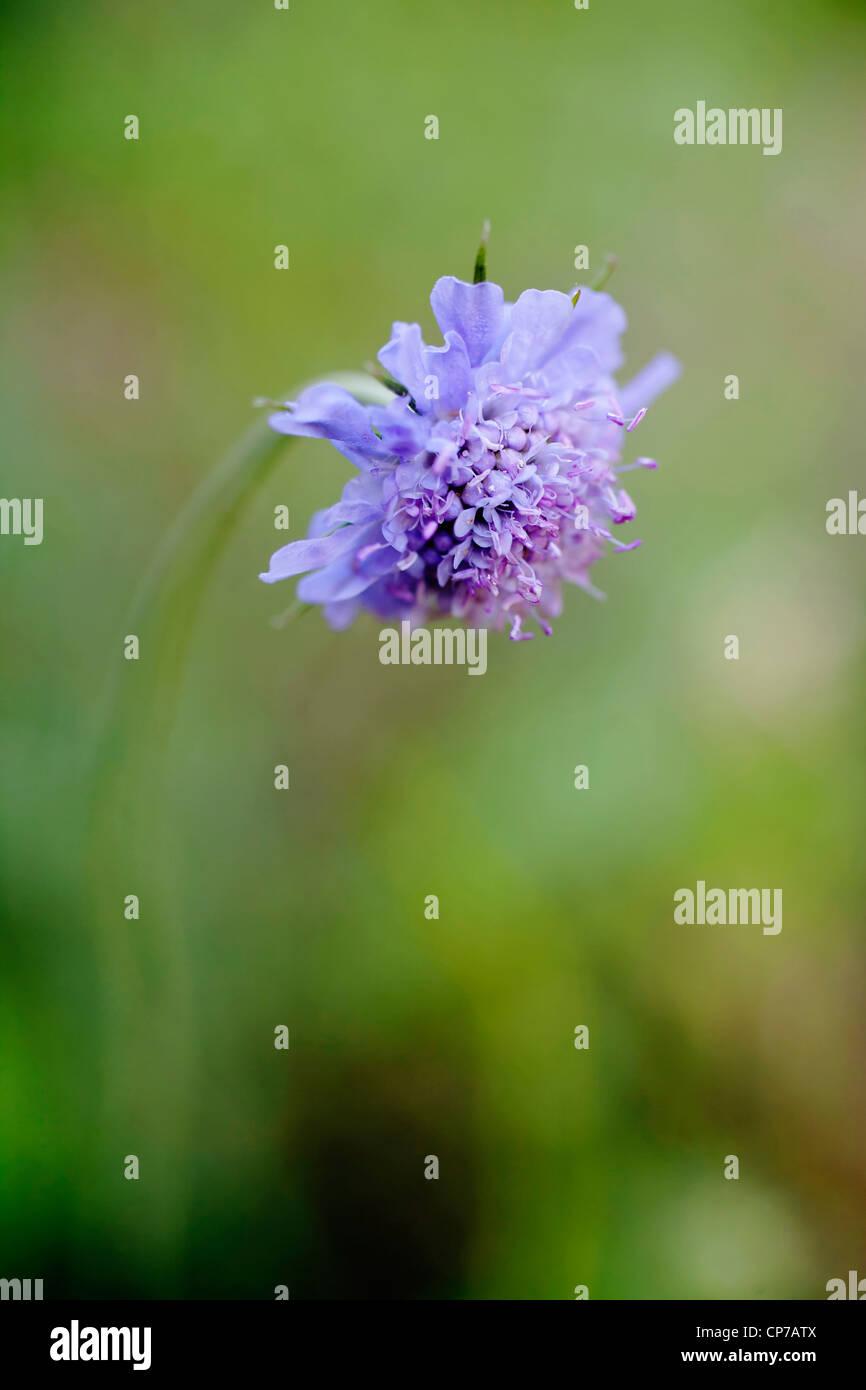 Knautia arvensis Single blue Field scabious flower - Stock Image