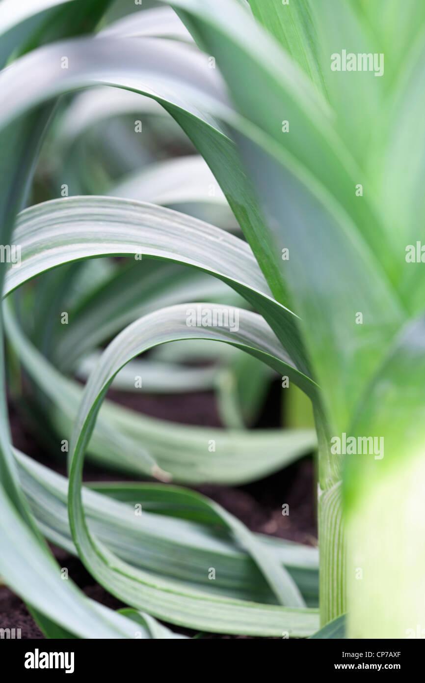 Allium ampeloprasum cultivar, Leek, Green. - Stock Image