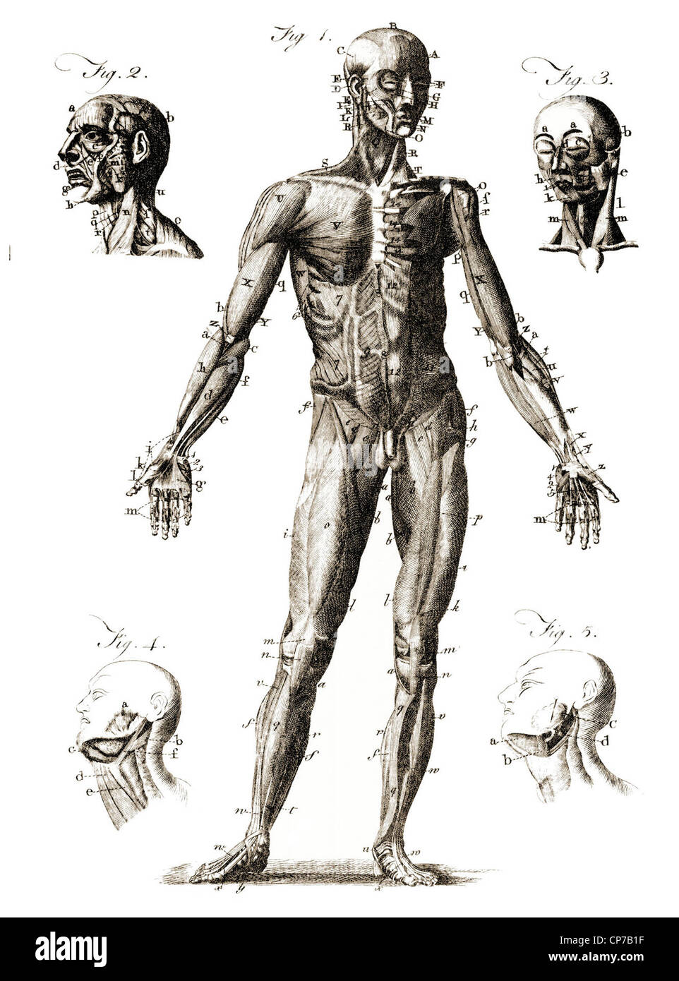 Diagram showing labeled human anatomy. Published by unknown engraver in Encyclopedia Britannica, 1771. - Stock Image