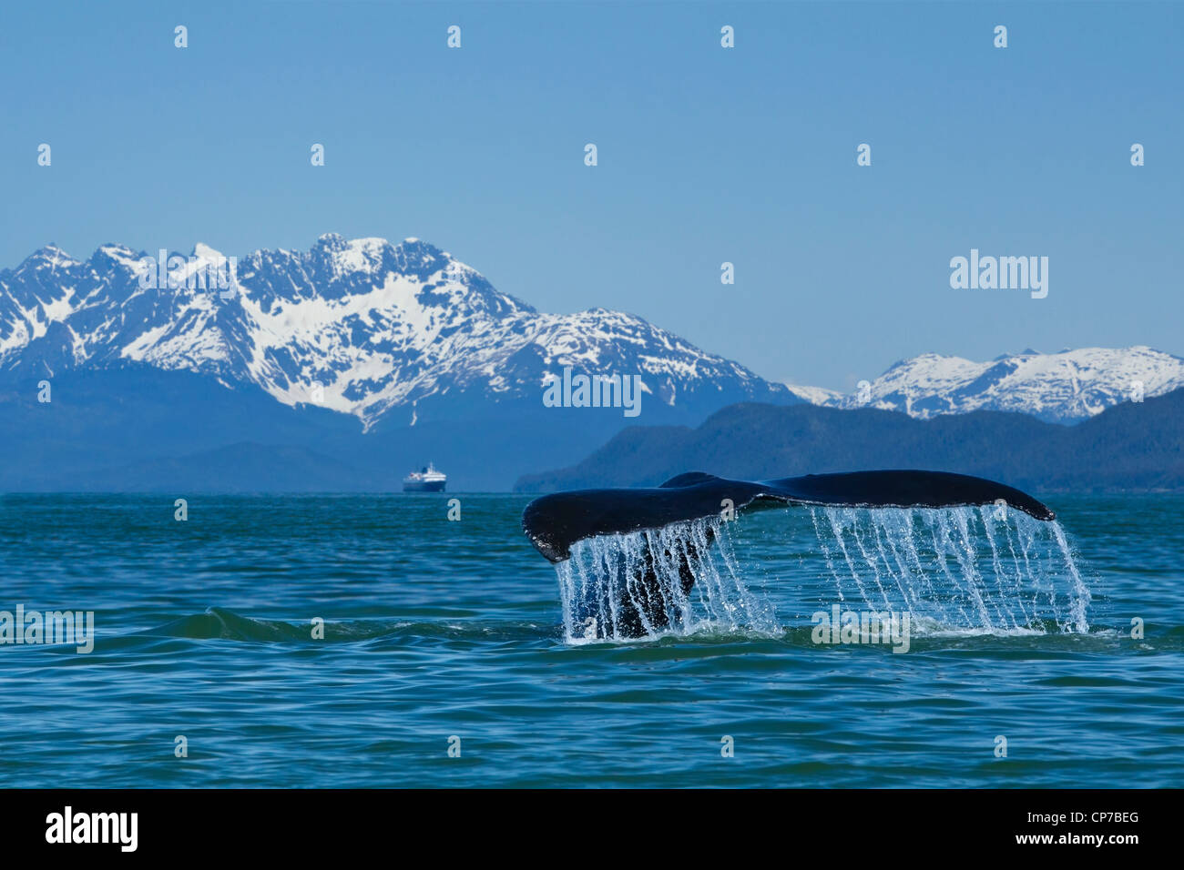 COMPOSITE: Humpback Whale fluking in Lynn Canal with M/V Matanuska in the distance, Inside Passage, Southeast Alaska, - Stock Image