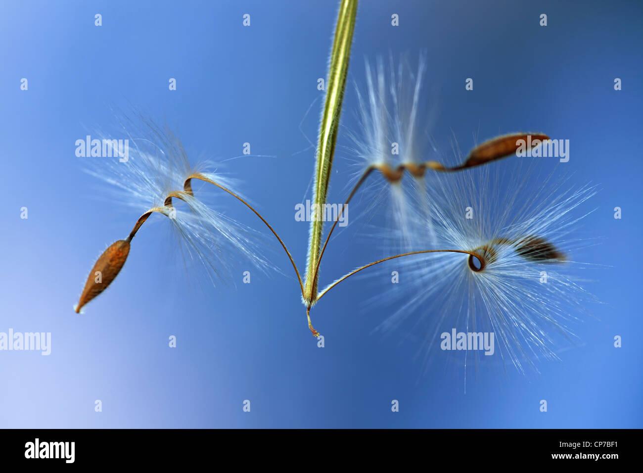 Pelargonium x hortorum 'Red Satisfaction', Pelargonium, Brown, Blue. - Stock Image