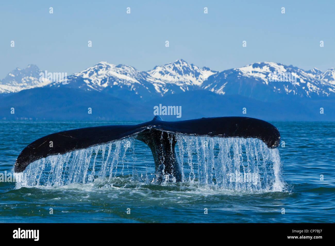 Humpback Whale fluking in Lynn Canal with Chilkat Mountains in the distance, Inside Passage, Southeast Alaska, Summer - Stock Image