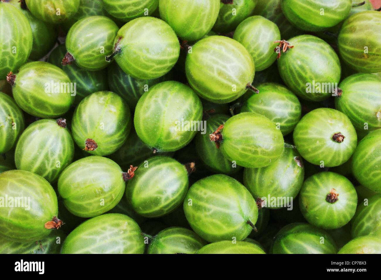 Ribes uva-crispa, Gooseberry, Green, Green. - Stock Image