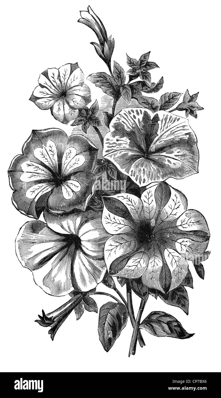 Antique wood engraving of Petunia flower from German textbook dated mid 1800's. Public domain image by virtue - Stock Image