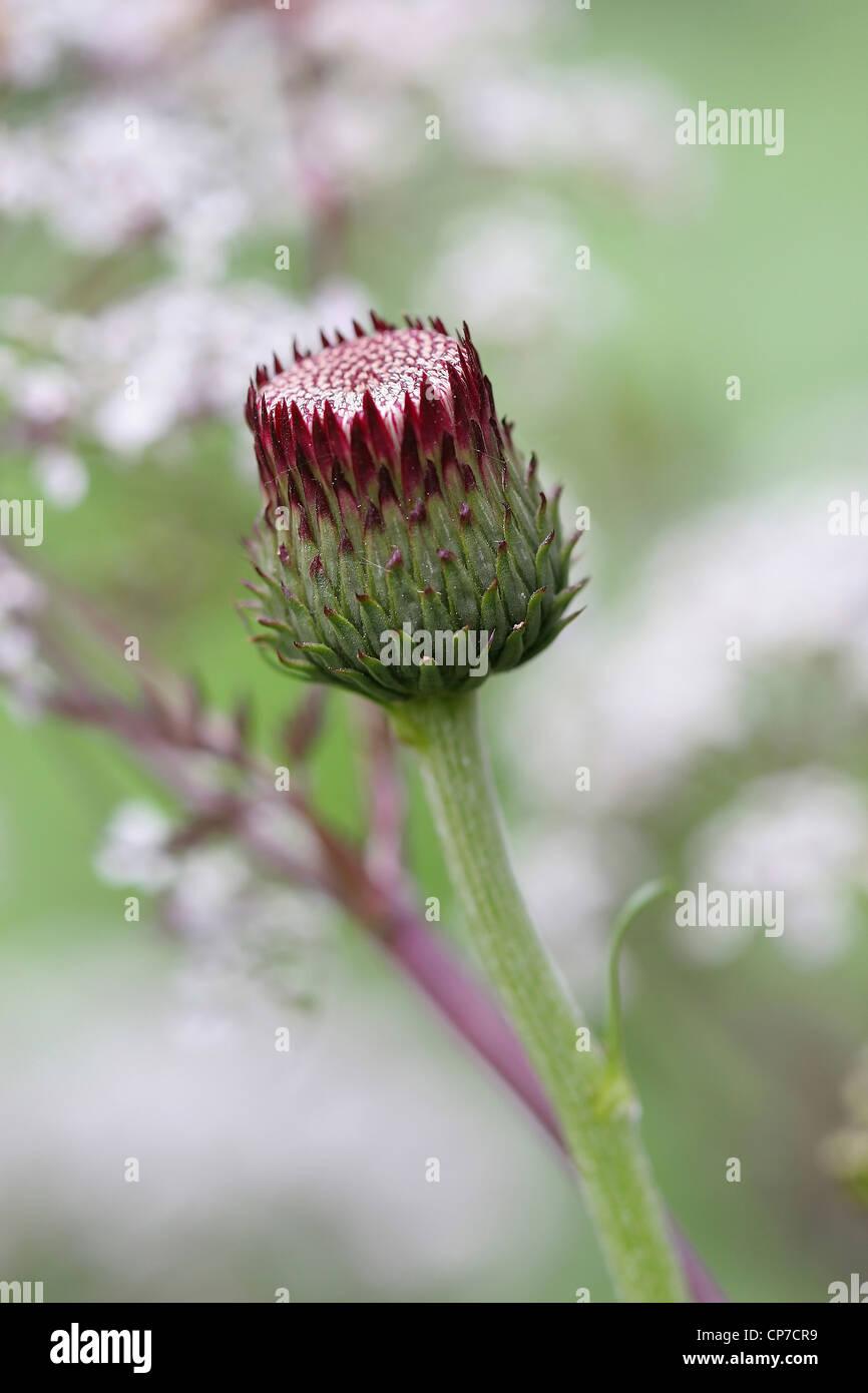 Cirsium rivulare 'Atropurpureum', Cirsium, Purple. - Stock Image