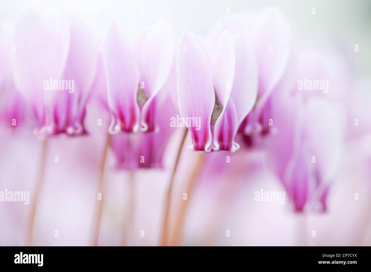 Cyclamen hederifolium, Cyclamen, Pink. - Stock Image