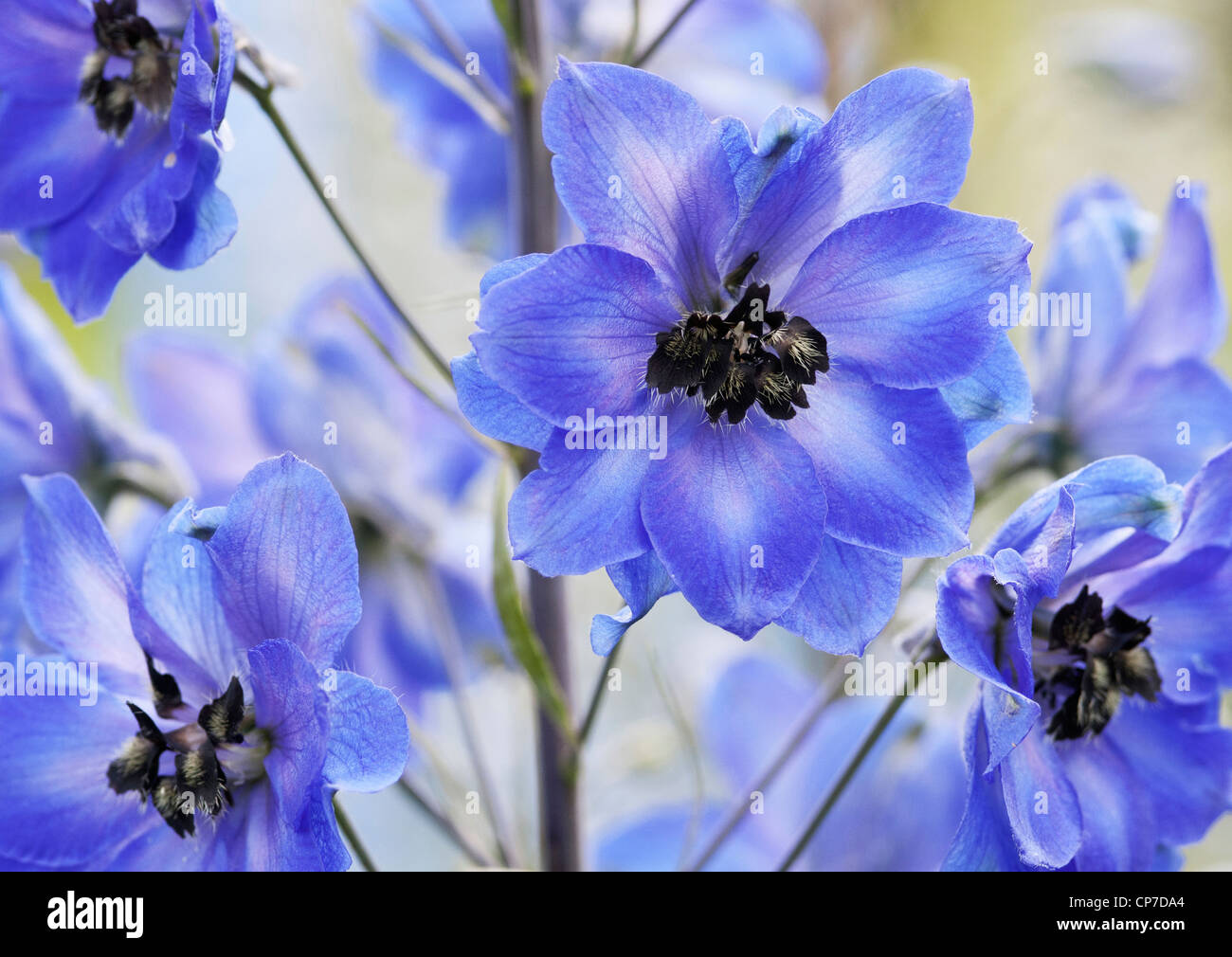 Delphinium 'After Midnight', close up of abundant blue flowers on a single stem. - Stock Image