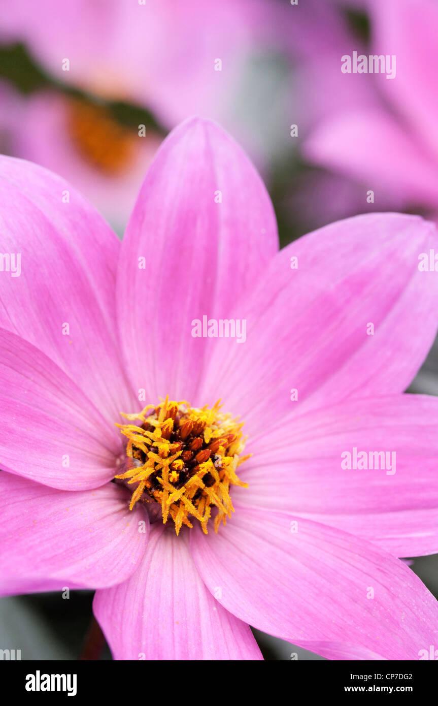Dahlia 'Magenta Star', Dahlia, Pink. - Stock Image