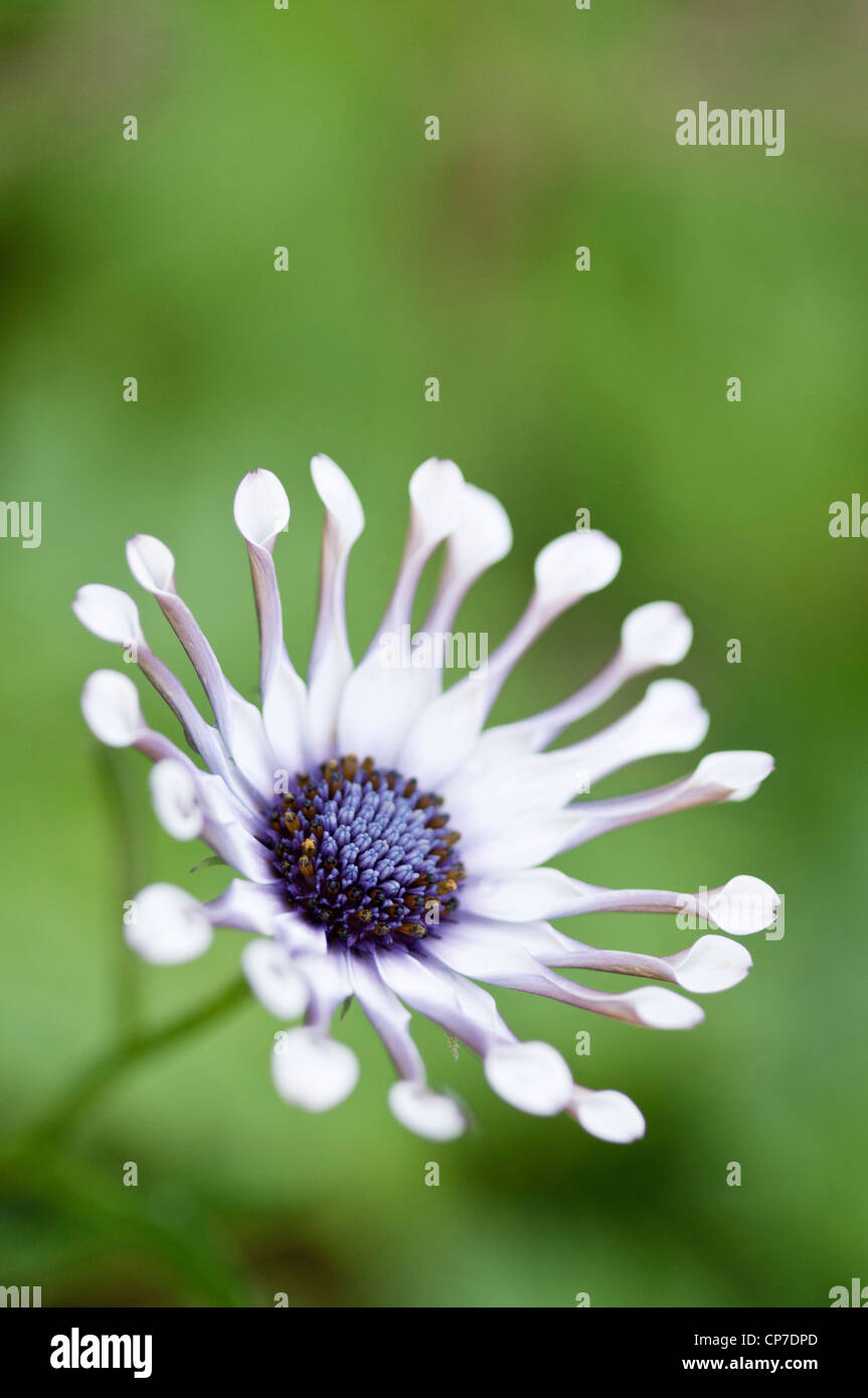 Osteospermum 'Whirligig', Osteospermum, White, Green. Stock Photo