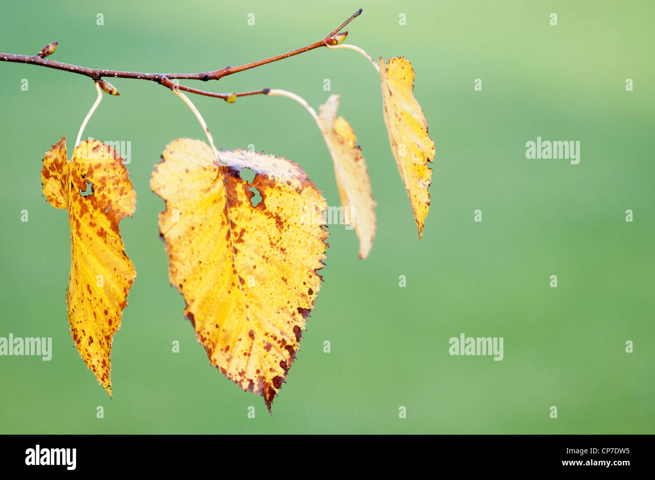 Betula pendula, Birch, Silver birch, Yellow, Green. Stock Photo