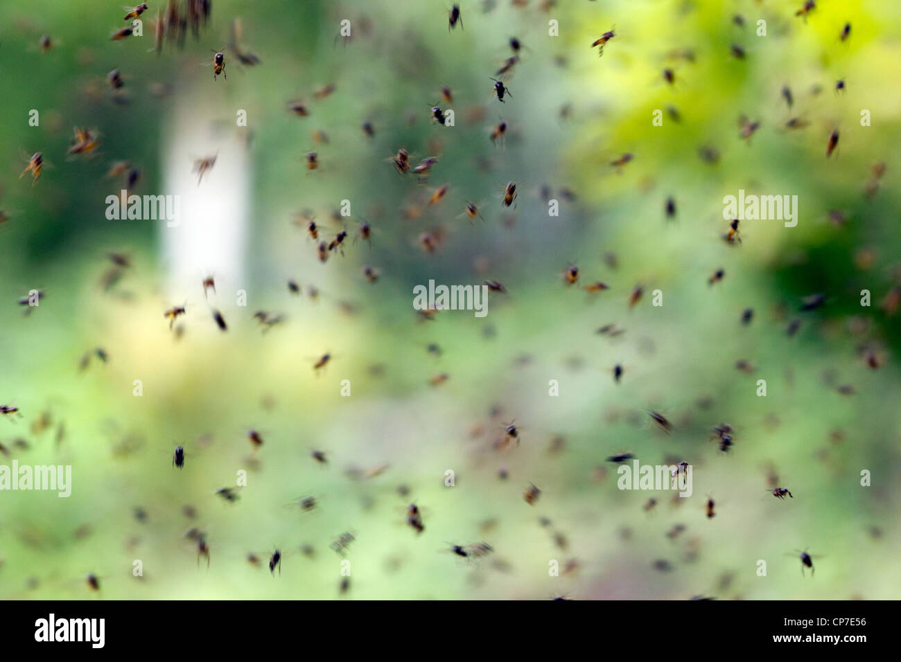 Big swarm of sweat bees in the rainforest in Western Ecuador - Stock Image