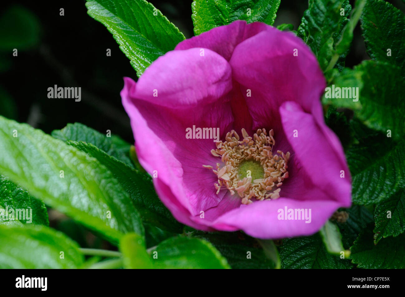 Rosa rugosa, Ramanas Rose, Single pink open flower growing on a shrub. - Stock Image