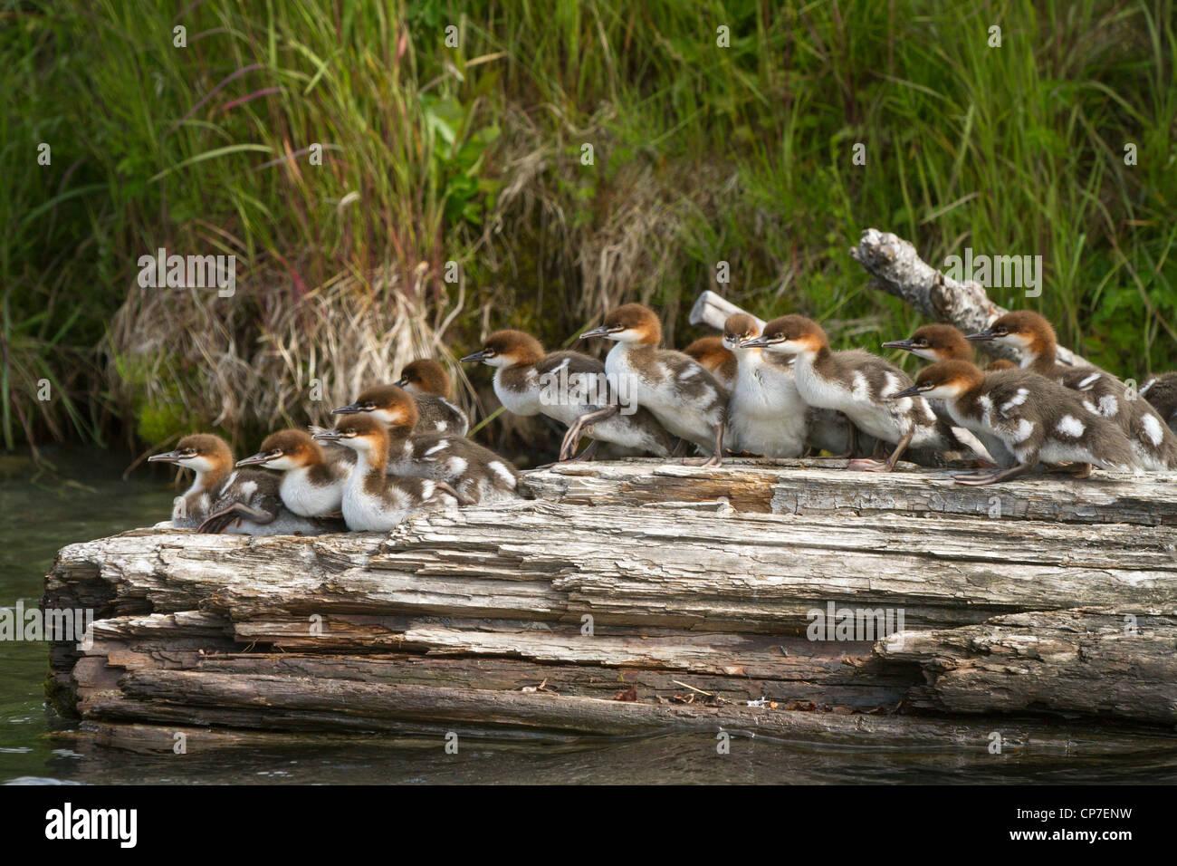 A large brood of Common Merganser ducklings rest on a log, Cooper Landing, Southcentral Alaska, Summer - Stock Image