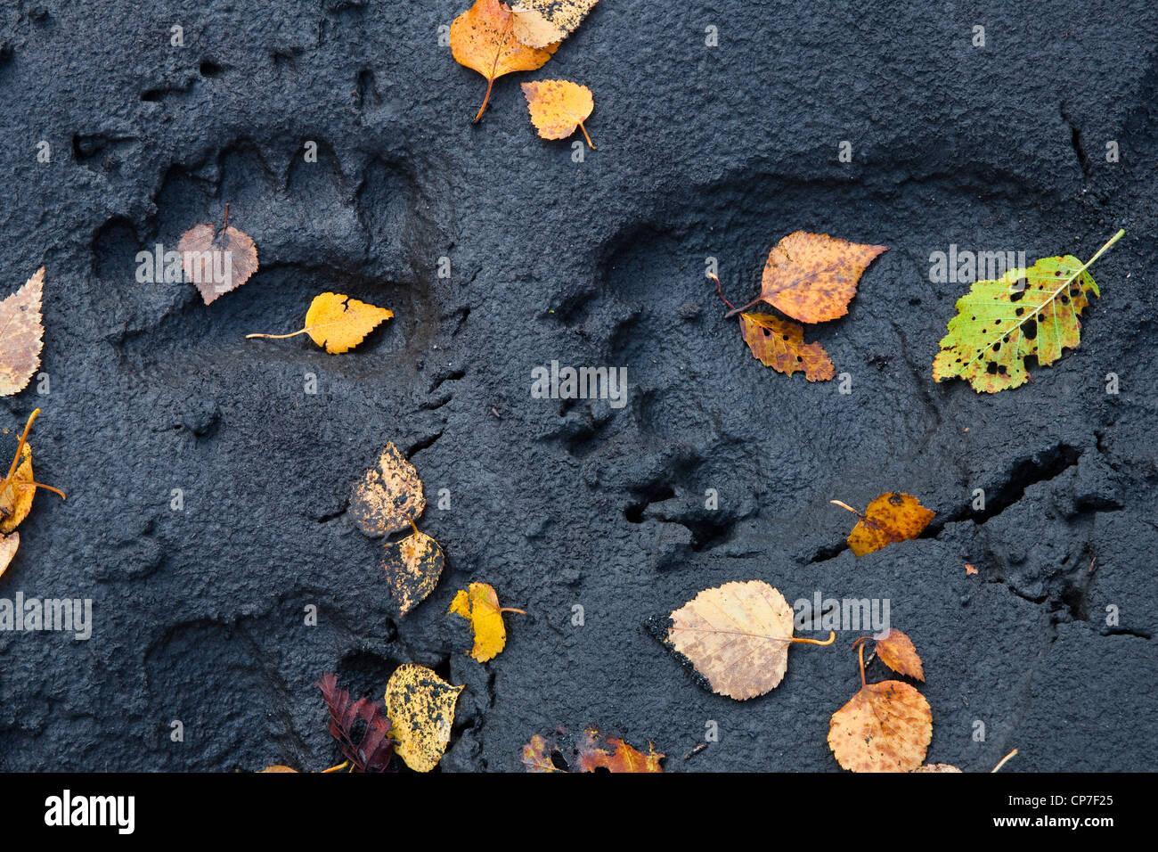 Fall leaves resting on bear tracks along Eagle River, Chugach State Park, Southcentral Alaska, Autumn - Stock Image