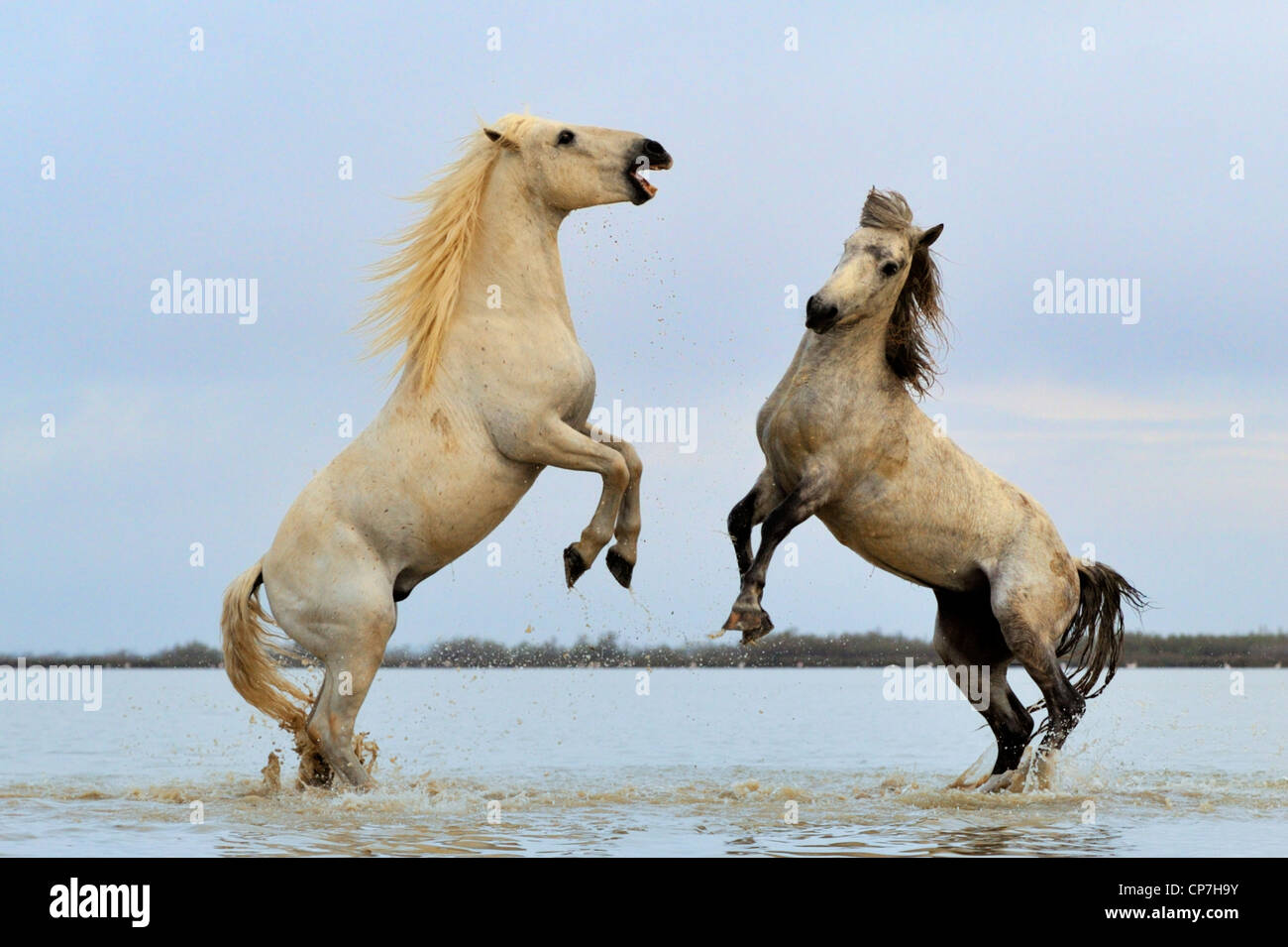 White horse in the Camargue, France - Stock Image