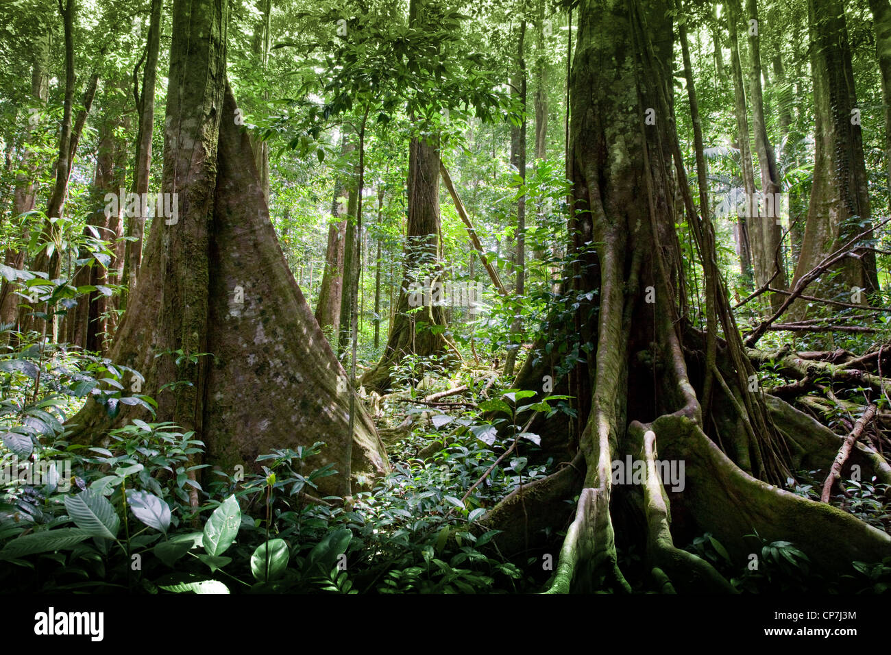 Buttress roots on primary rain forest trees on the Syndicate Trail on Morne Diablotins Dominica West Indies - Stock Image