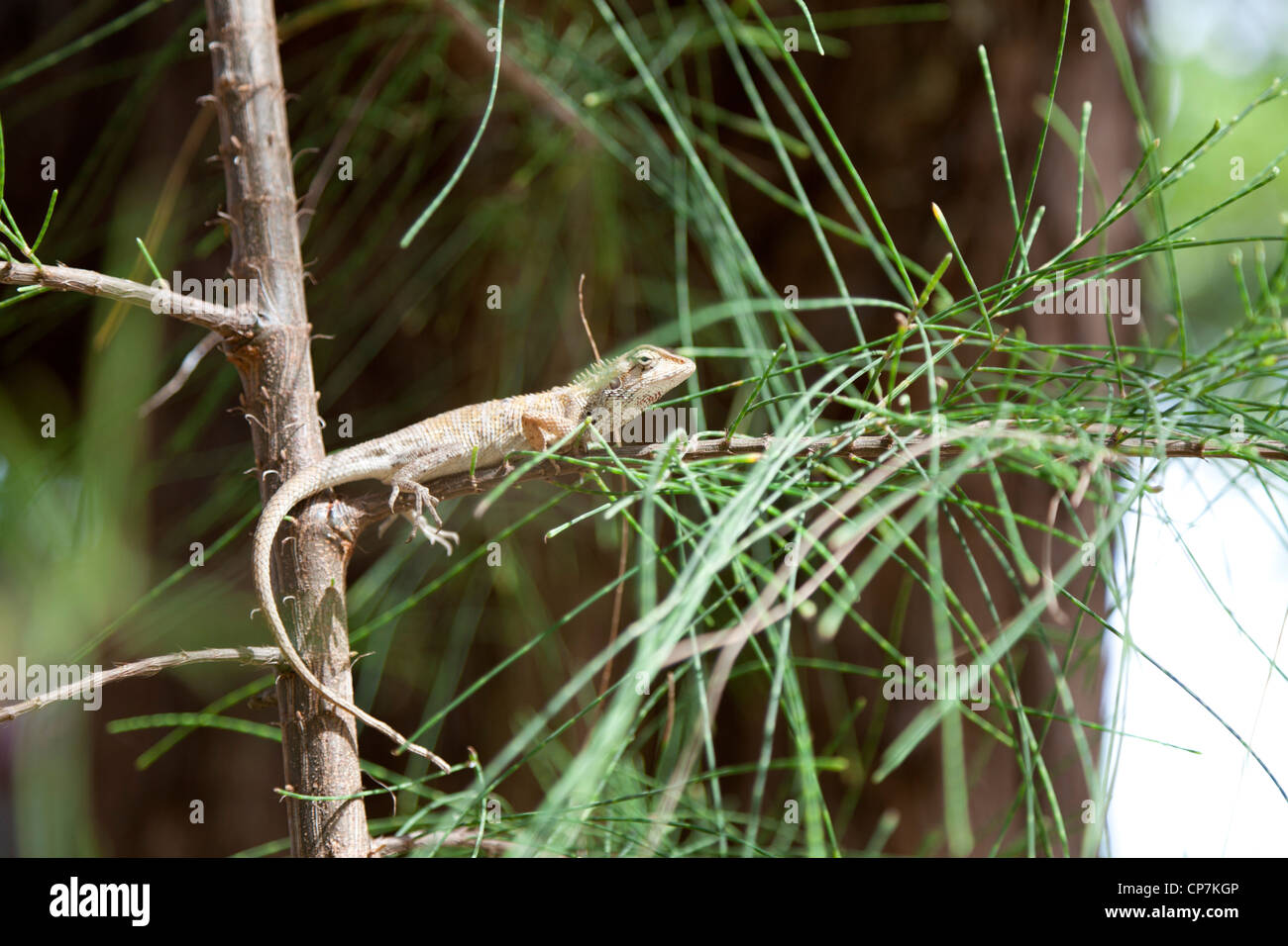 A small specimen of the Garden Fence Lizard (Calotes versicolor) on the watch. Petit lézard du genre Agama aux aguets. Stock Photo