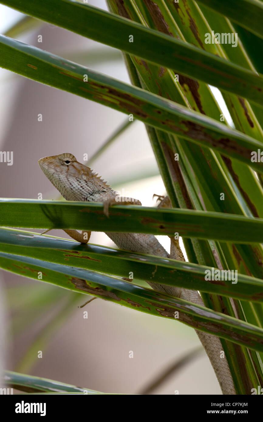 A small specimen of the Garden Fence Lizard (Calotes versicolor) on the watch. Petit lézard du genre Agama aux aguets. Stock Photo