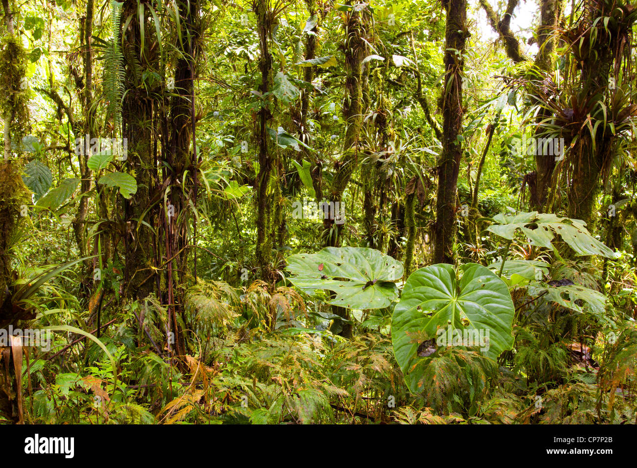Interior of humid cloudforest on the coastal range in western Ecuador - Stock Image