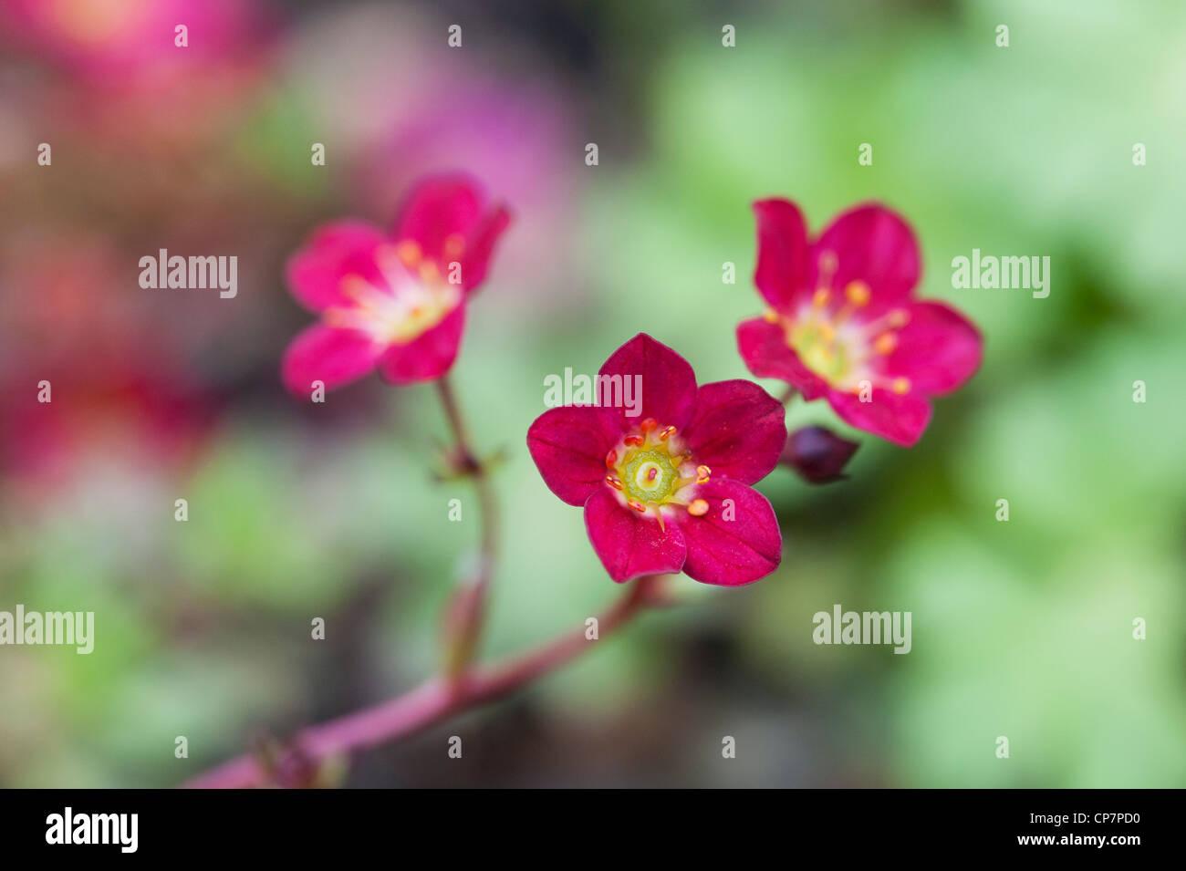 Saxifraga 'Peter Pan'. Saxifrage flowers - Stock Image