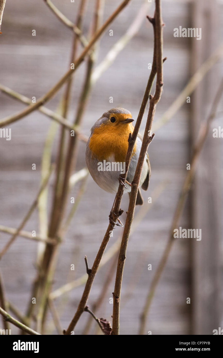 Erithacus rubecula. Robin waiting for mealworms in an English garden. - Stock Image
