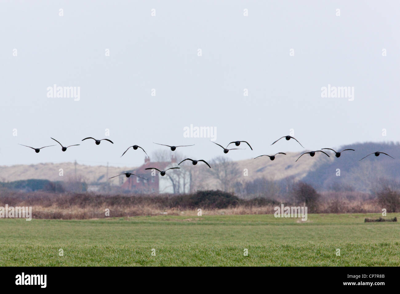 Russian or Dark-bellied Brent (Branta b. bernicla). Skein coming into land. - Stock Image