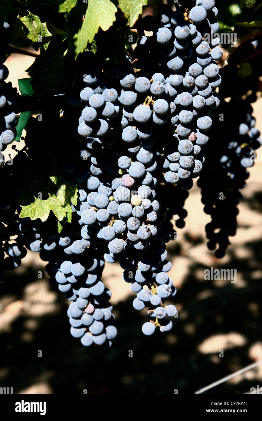GRAPES ON VINE CHATEAU MONTELENA WINERY 06 October 2011 - Stock Image