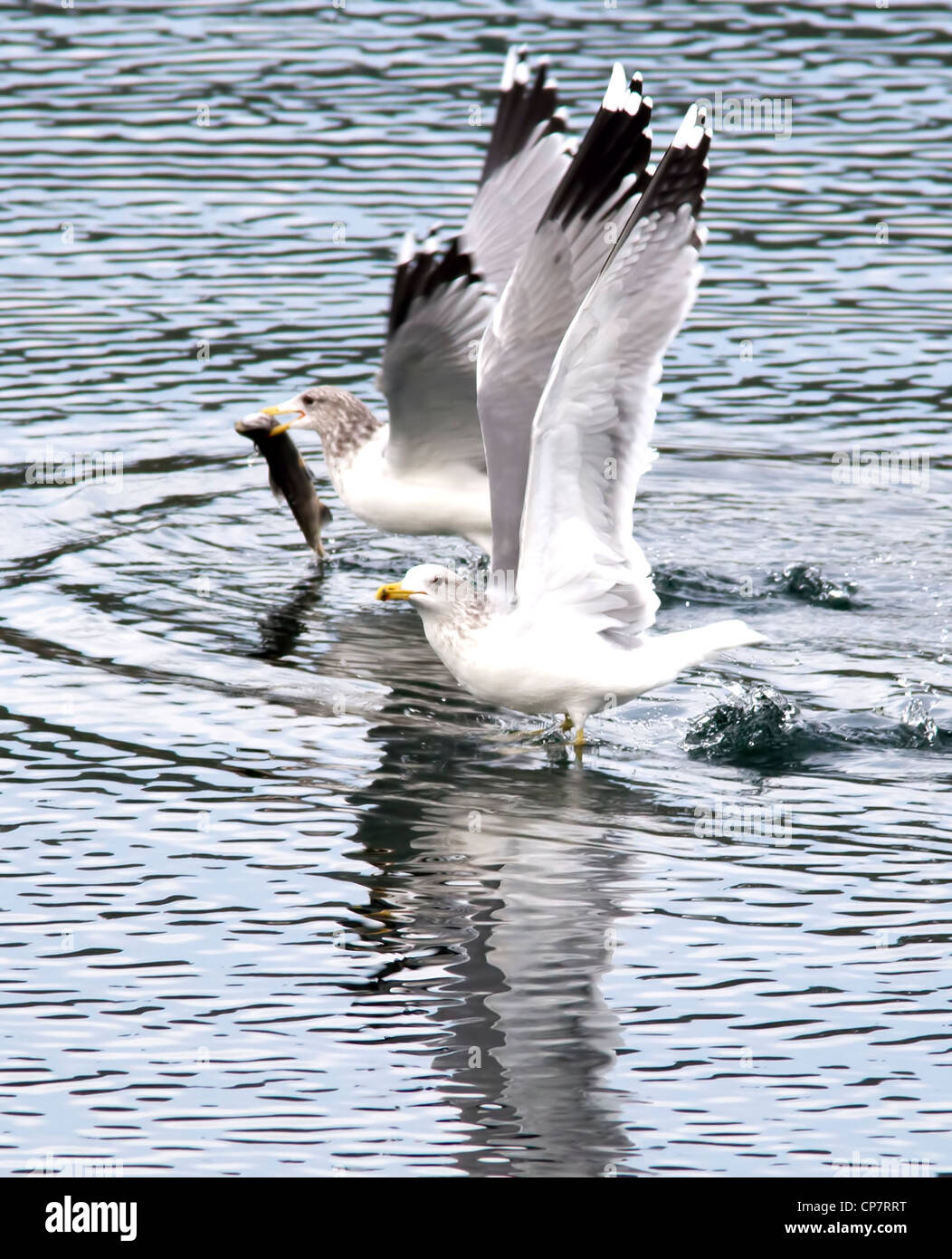 Ring billed gulls in sync. - Stock Image