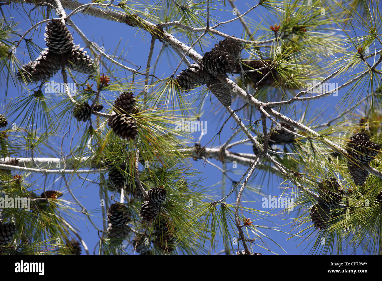 TREE WITH PINE CONES SIDE TURKEY 15 April 2012 - Stock Image