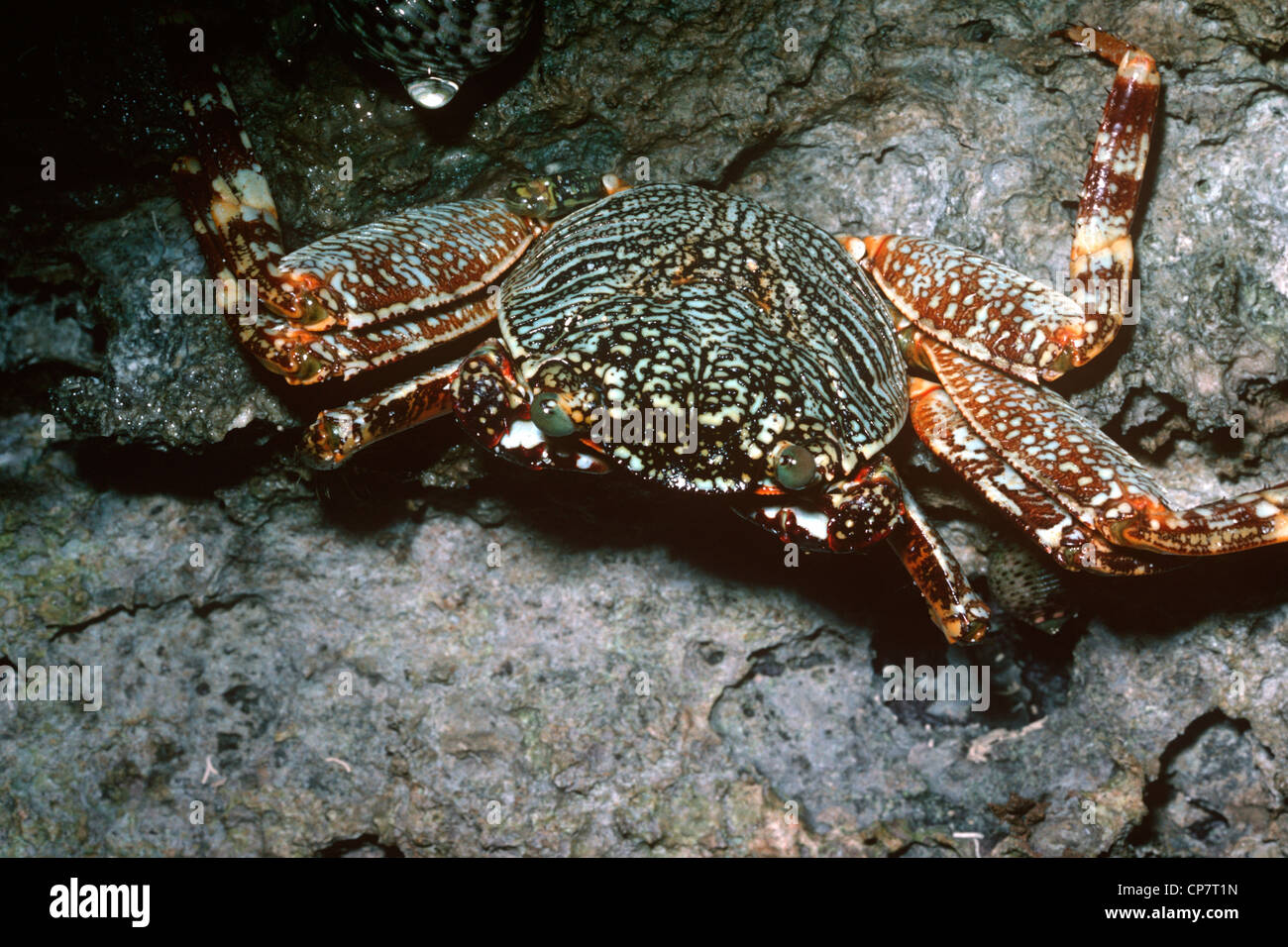 Sally lightfoot crab, mottled shore crab (Grapsus grapsus: Grapsidae), young, Kenya - Stock Image
