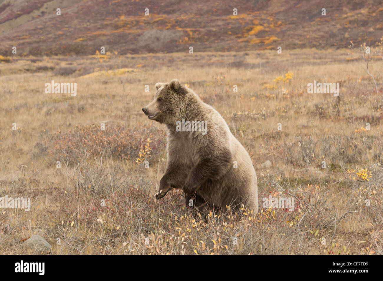 Grizzly (Ursus arctos) bear stands up for a better view of the surrounding tundra Denali National Park, Alaska - Stock Image