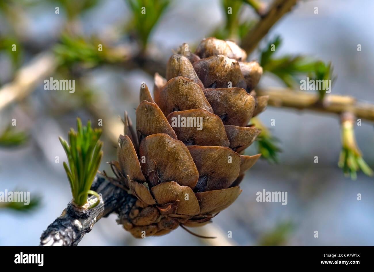 European larch buds; (Larix decidua) closeup - Stock Image