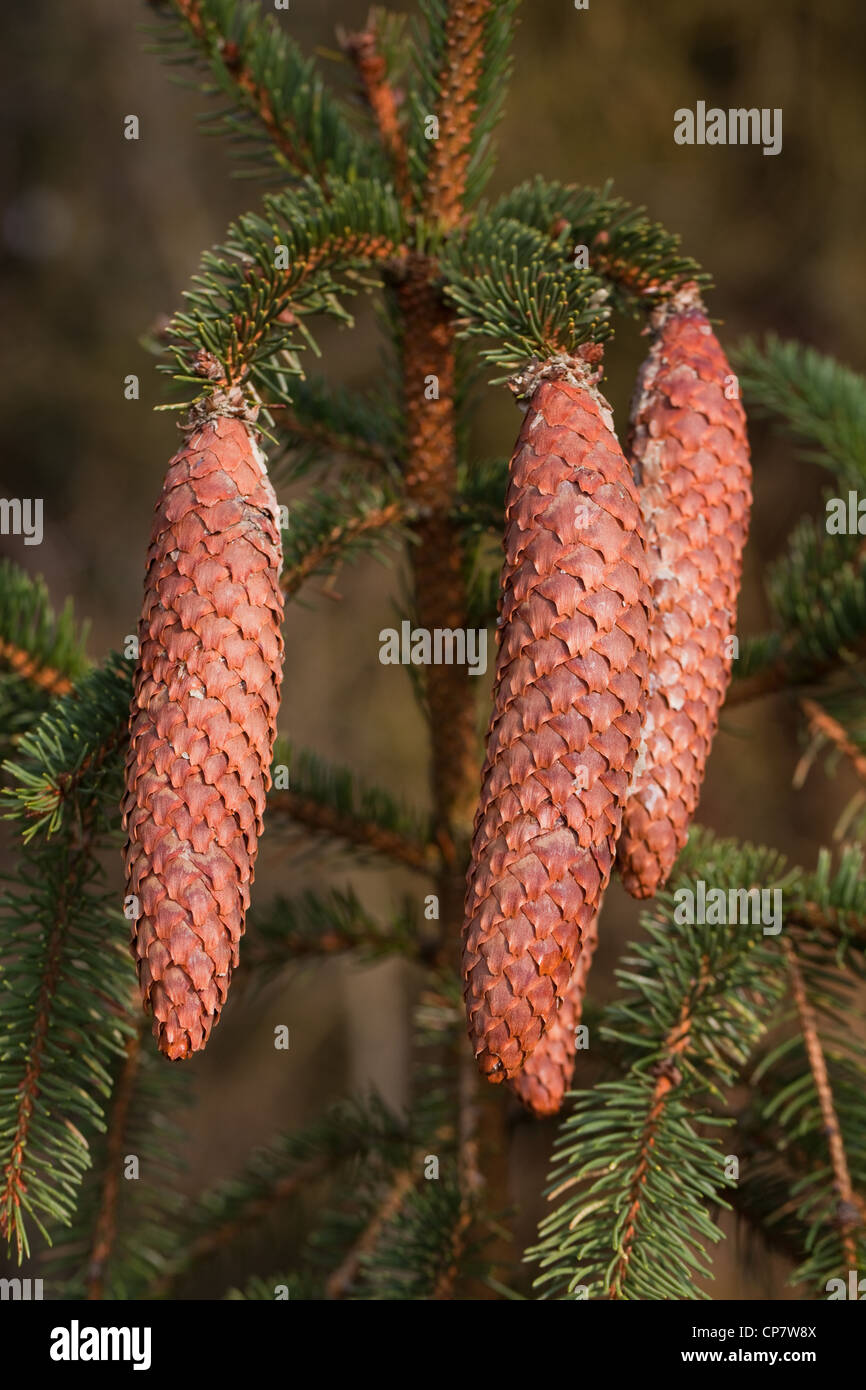 Picea abies Norway Spruce Seeds