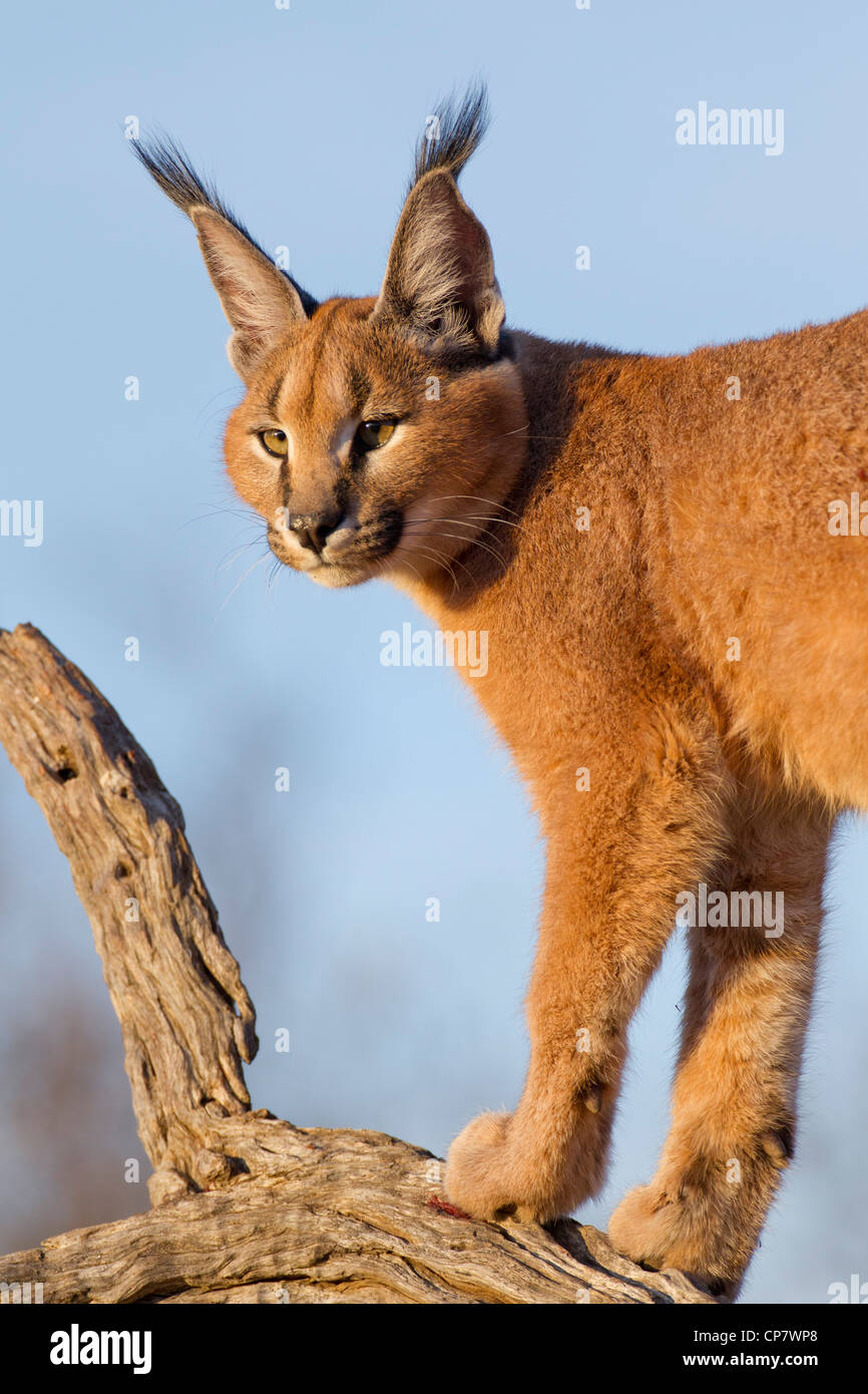 Caracal (Felis caracal) up high on a dead log in South Africa - Stock Image
