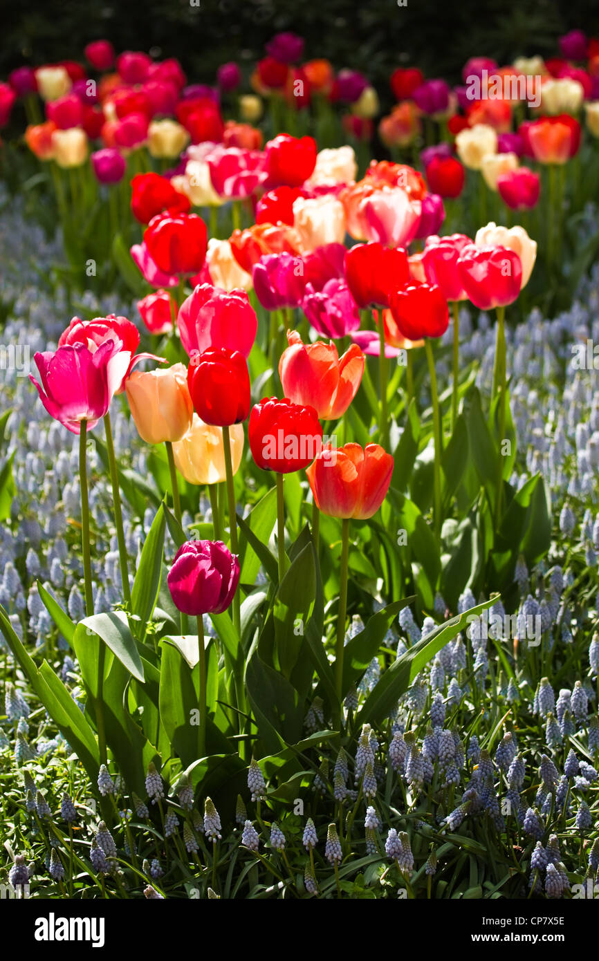 Colorful tulips and light blue common grape hyacinths in spring - Stock Image