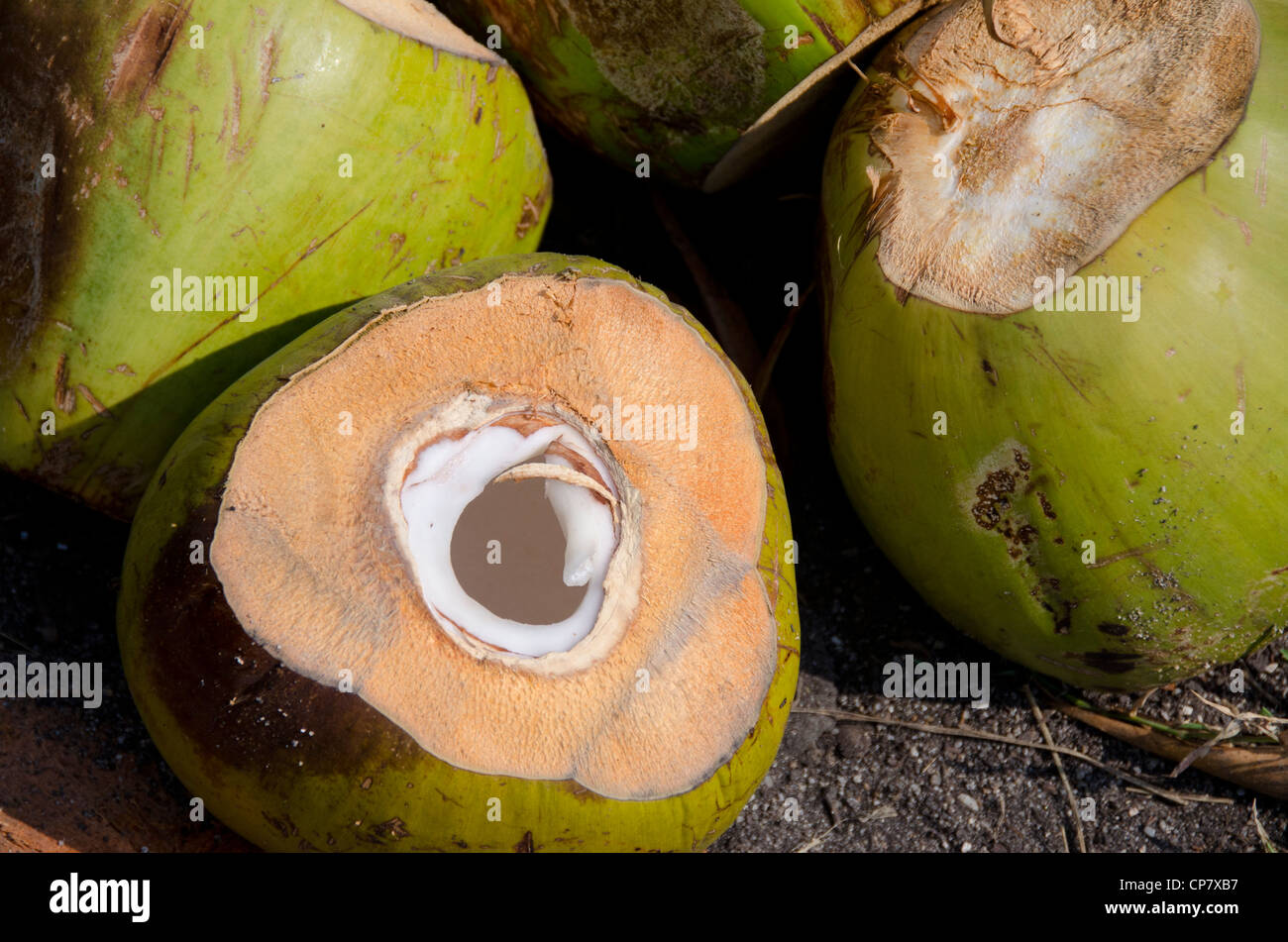 Thailand, Island of Ko Samui (aka Koh Samui). Coconut plantation. Stock Photo