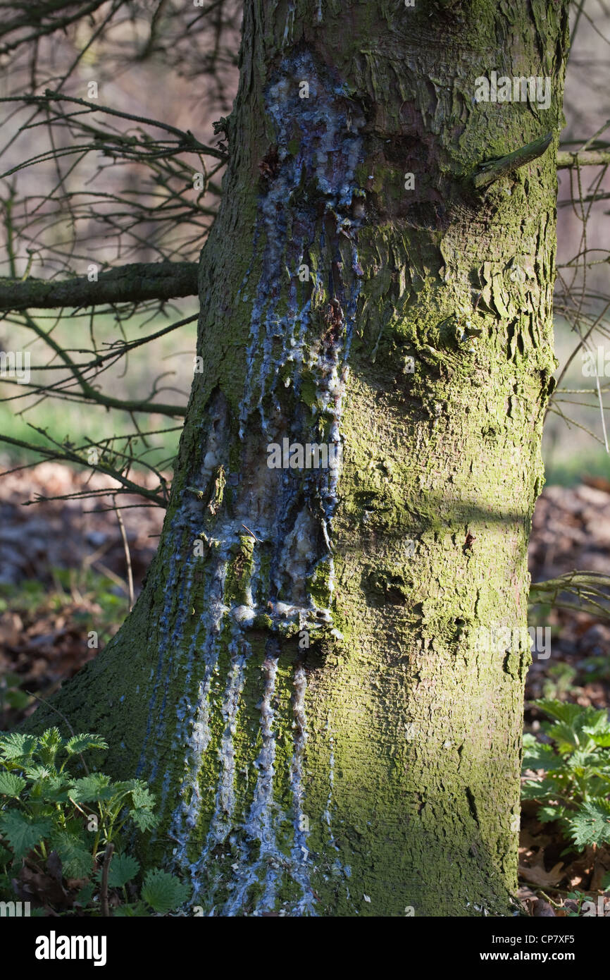 Norway Spruce (Picea abies). Trunk with resin running down from an injury point. Stock Photo