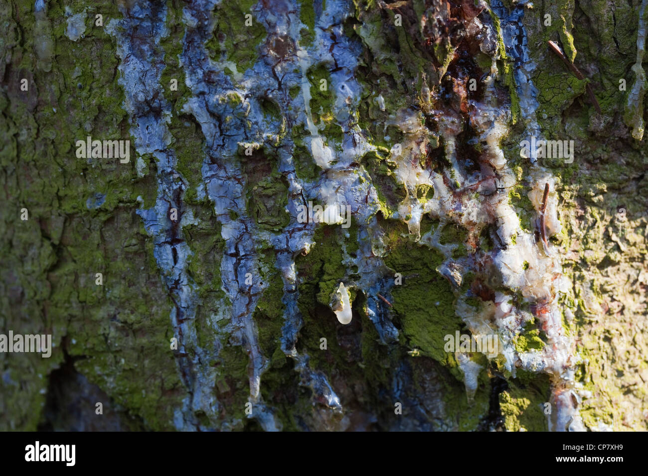 Norway Spruce (Picea abies). Trunk with resin running down from an injury point. - Stock Image
