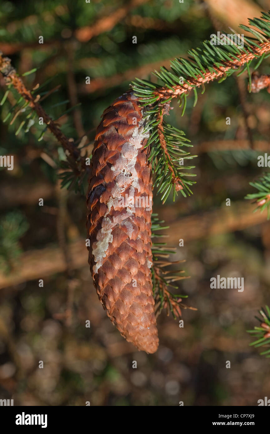 Norway Spruce (Picea abies). Cone with dry resin running down from an injury point on branch. Seed bearing. Needles. - Stock Image