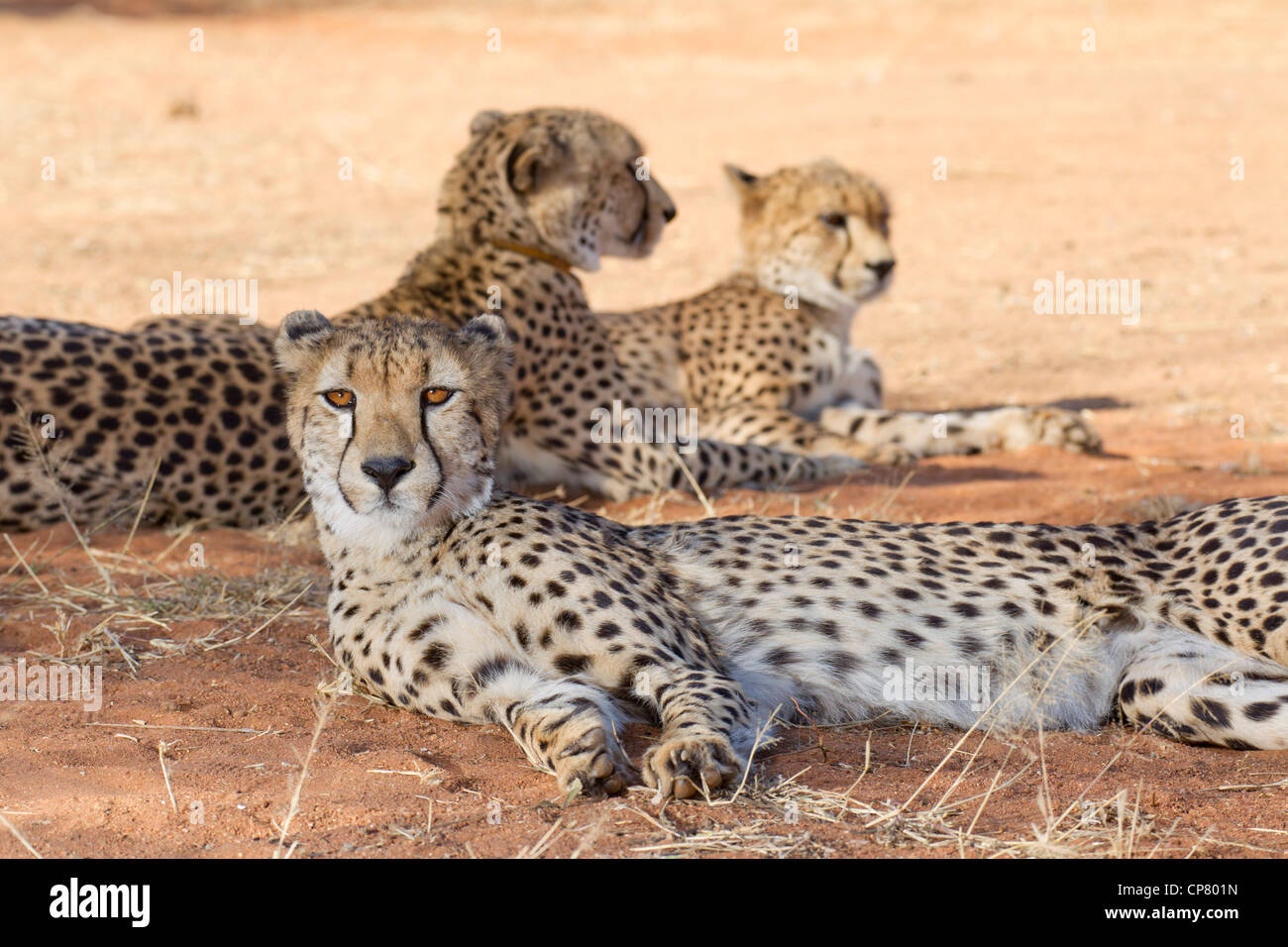 Cheetah group, (Acinonyx jubatus), South Africa - Stock Image