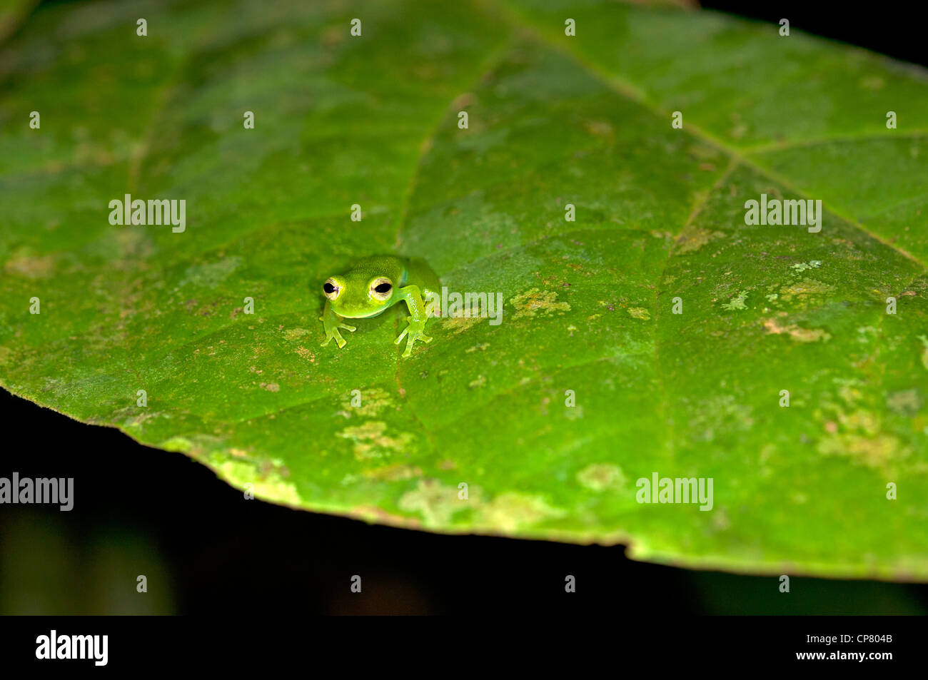 Glas frog Cochranella midas, Tiputini rain forest, Yasuni National Park, Ecuador Stock Photo