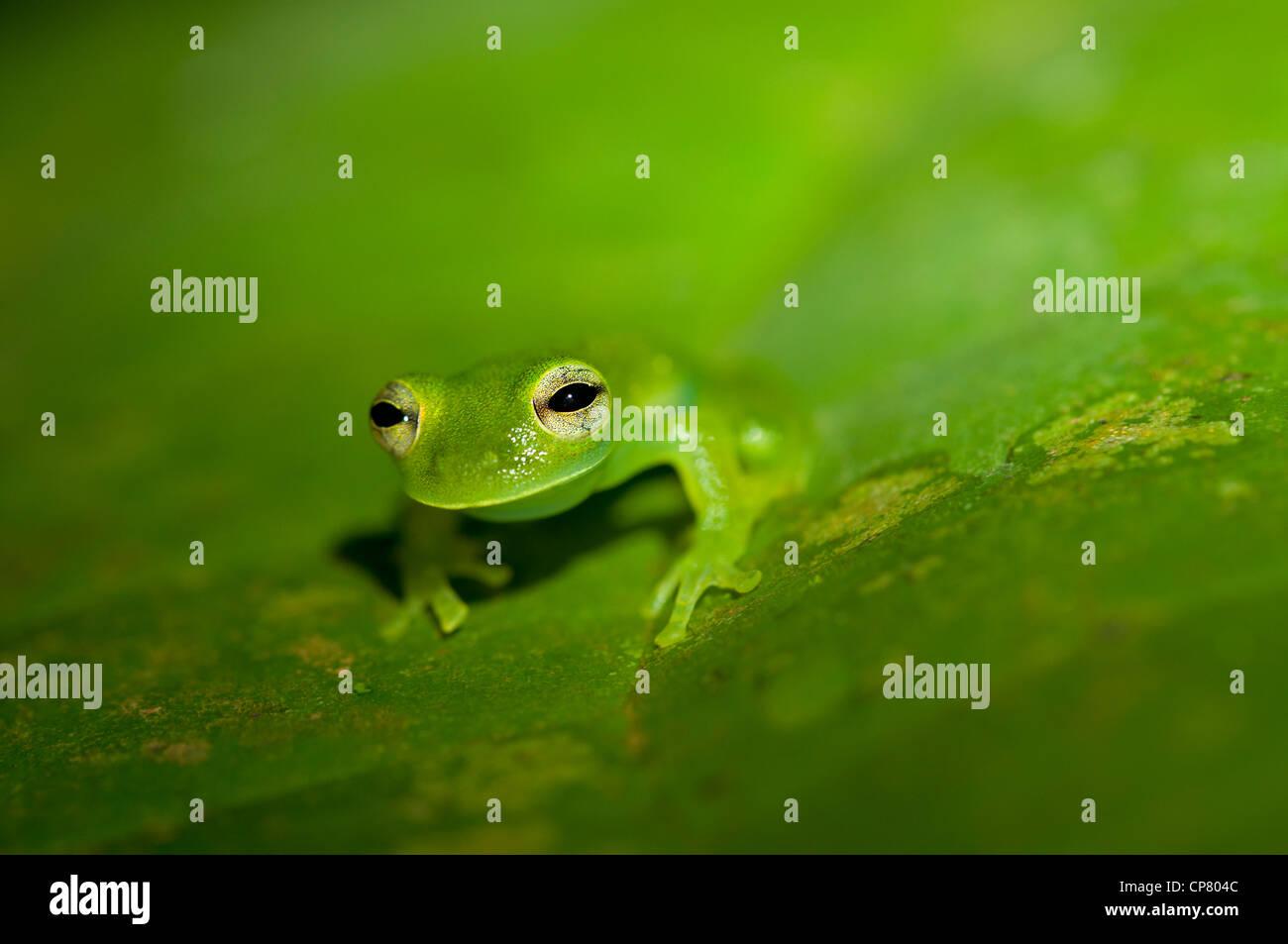 Glas frog Cochranella midas, Tiputini rain forest, Yasuni National Park, Ecuador - Stock Image