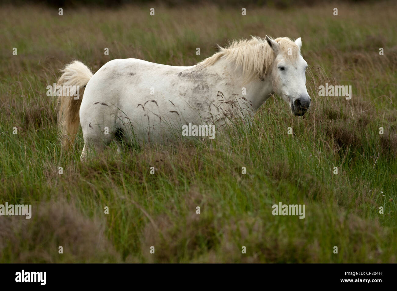 Semi-wild Camargue horse in a wetland, Camargue, France - Stock Image
