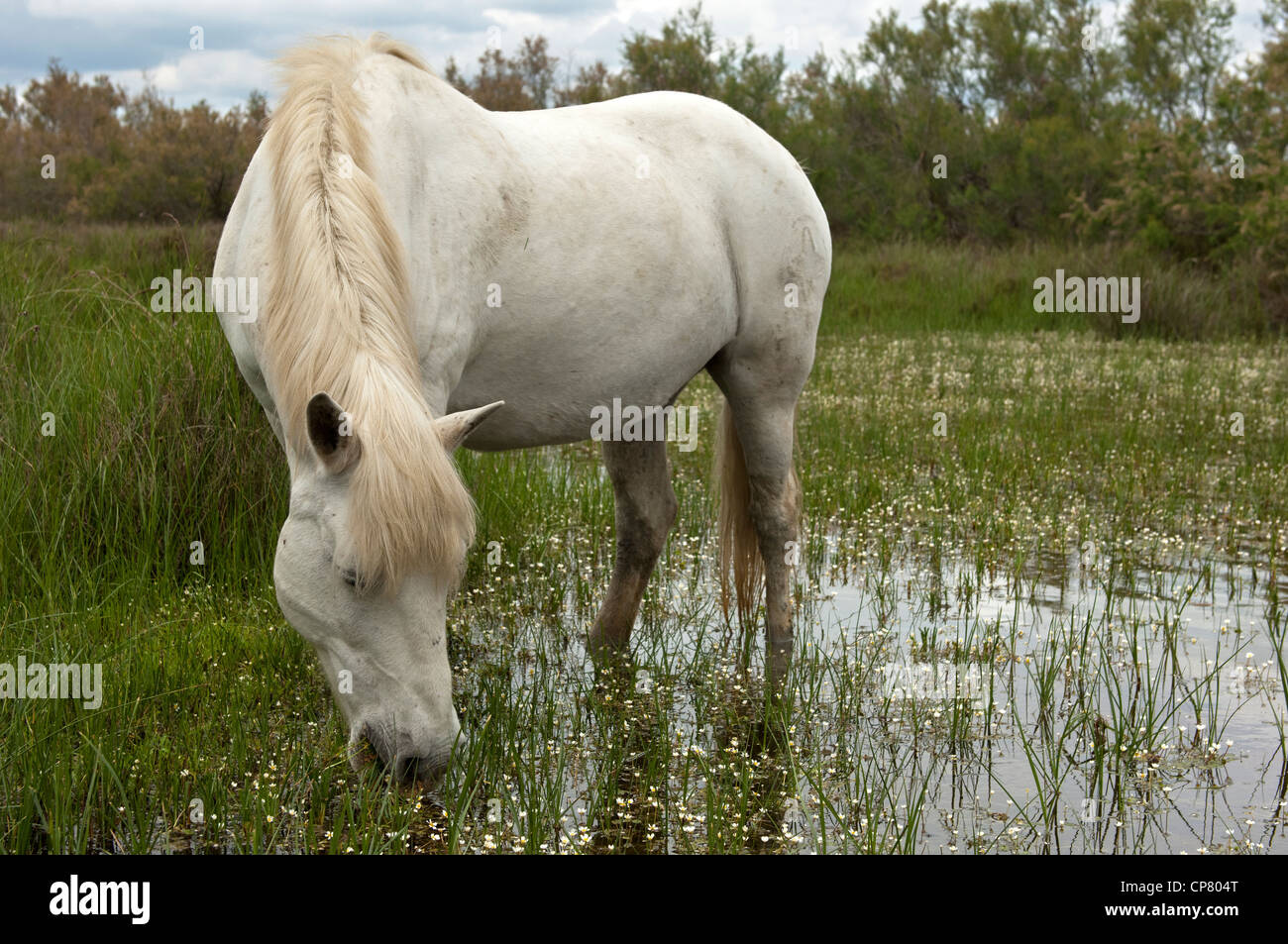 Camargue horse in a wetland, Camargue, France - Stock Image