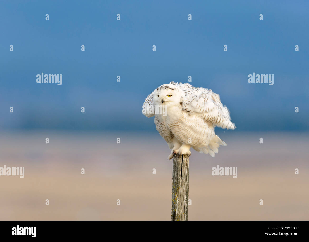 A snowy owl fluffs up his feathers while perched on a wooden fencepost, Polson, Montana - Stock Image