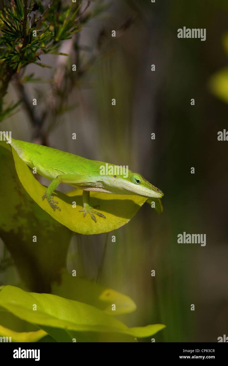 Green or Carolina Anole Lizard Anolis carolinensis sitting on top of Yellow-topped Pitcher Plant Sarracenia flava - Stock Image
