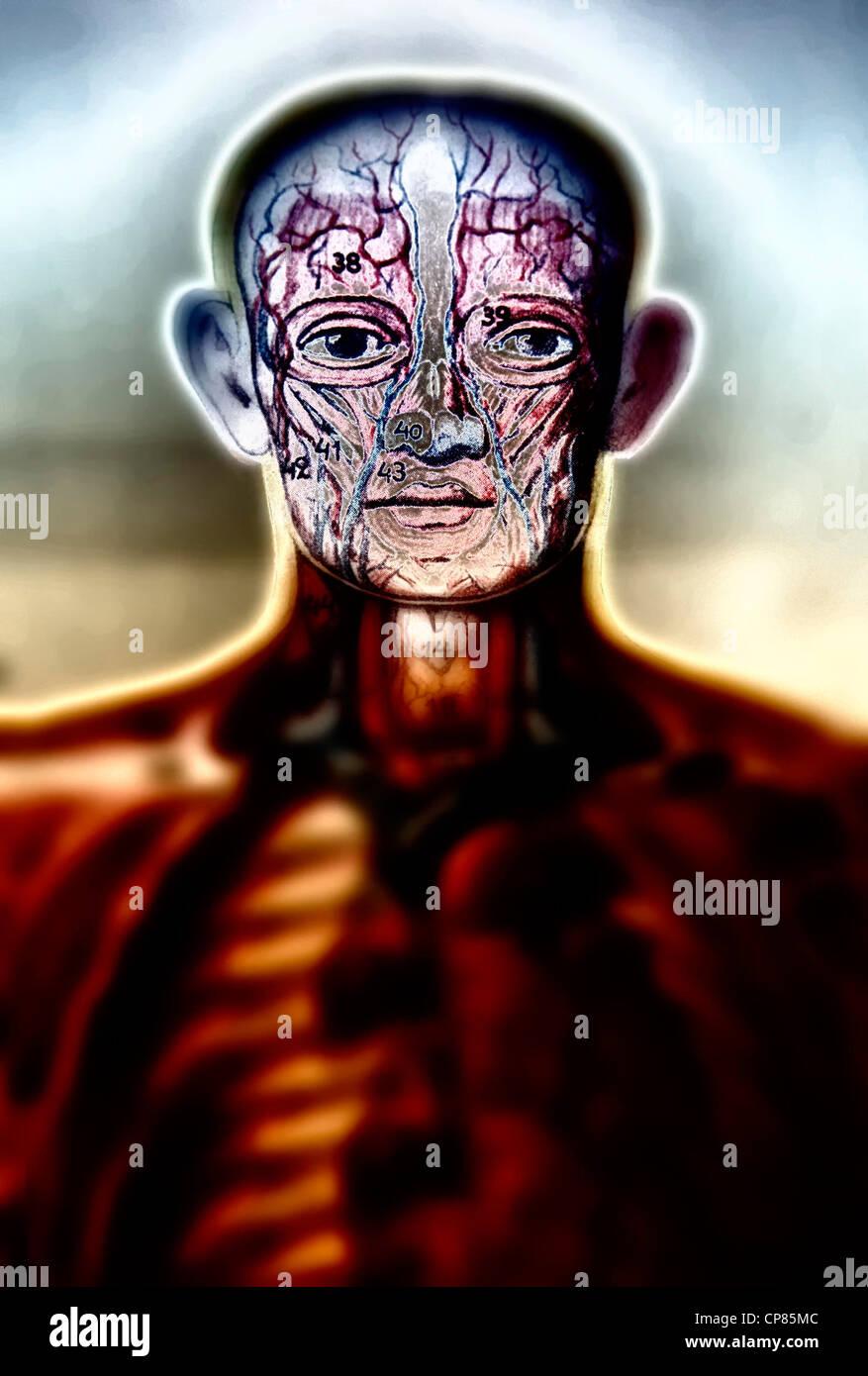 Anatomy, medical illustration of human beings, Aufklappbare anatomische, medizinische Darstellung des Mannes, digital - Stock Image