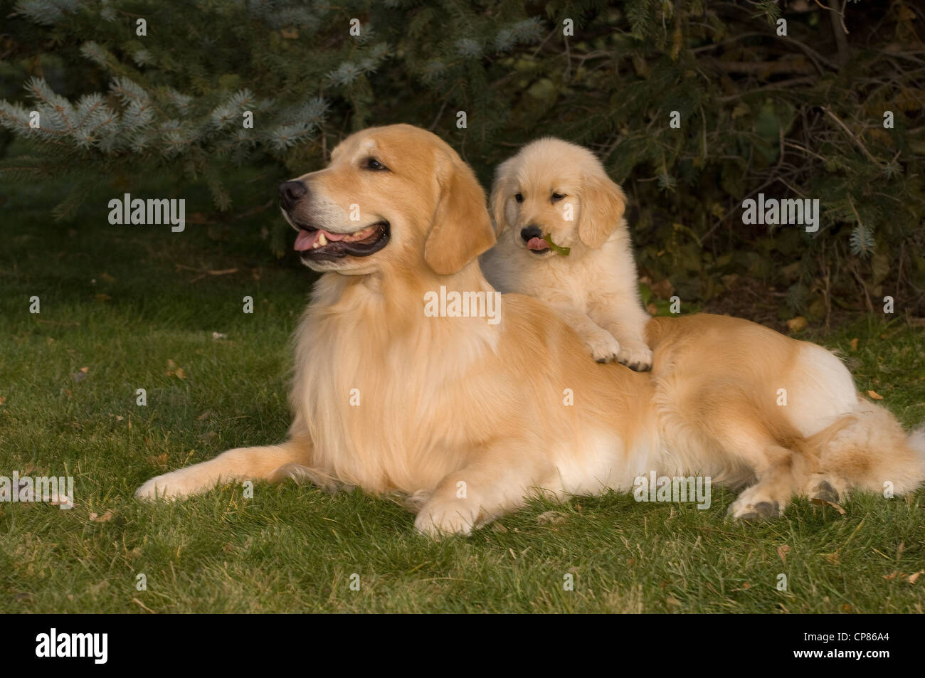 Golden retriever with puppy on back - Stock Image