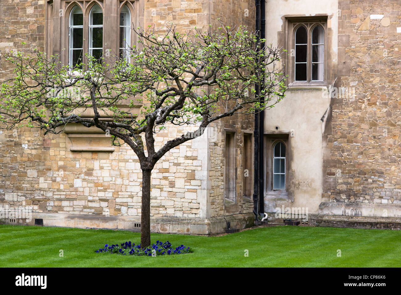 Isaac Newton Apple Tree amongst old sandstone walls of Trinity College, Cambridge University buildings. UK. - Stock Image